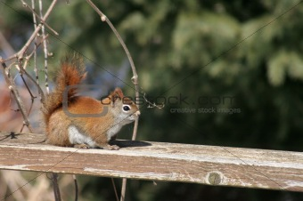 Sitting Red Squirrel