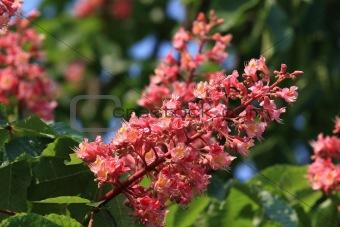 Blossom of horse-chestnut tree