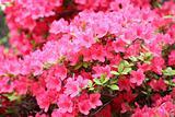 Azalea Rhododendron flowers