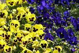 blue and yellow pansy flowers