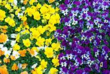 Pansy color change