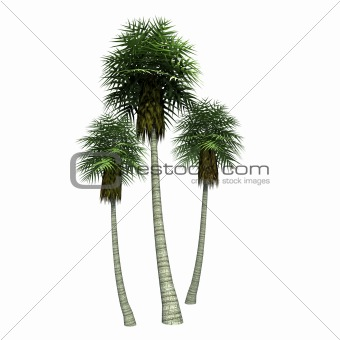 three tropical palms
