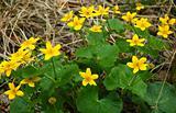 Buttercup (Ranunculus) flower.