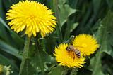Bee on the dandelion