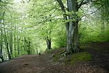 Danish Beech forest.