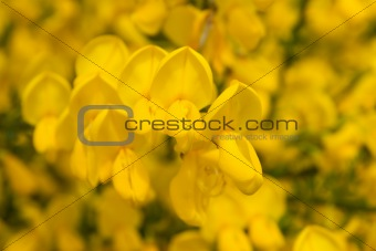 blooming coomon broom