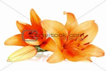 three orange lilies over white background