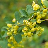 blooming barberry bush