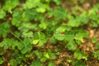 4 Leaf-Clover Forest