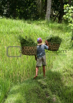Cultivation of rice
