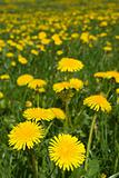 Dandelions field.