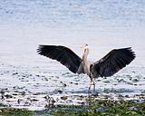Great Blue Heron Wings