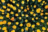 Colorful beautiful nature tulips