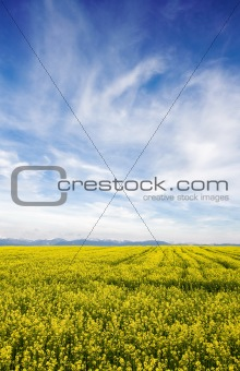 Blue sky against yellow field
