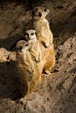 Three Suricates or Meerkats