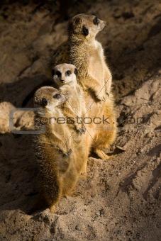 Three Suricates or Meerkats