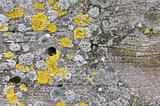 wood background with lichen
