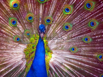 Peacock in Full Display