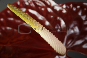 Anthurium close-up