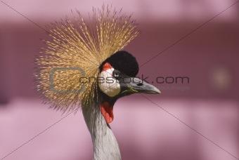 Grey Crowned Crane (Close-up)