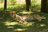 Resting Cheetah (Acinonyx Jubatus)