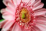 Wet pink gerber