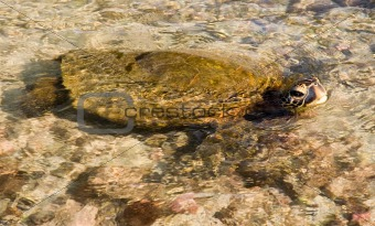 Green Sea Turtle in the Water