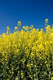 Oilseed rapeseed or canola