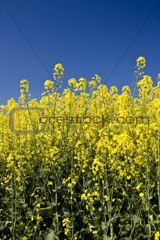 Oilseed rapeseed or canola