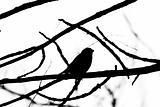 Silhouette of bullfinch