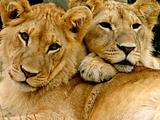 Young Male Lion Cub Brothers