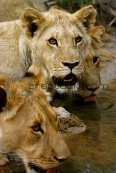 African Lions at a waterhole