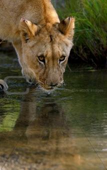African Lion Cub Drinking