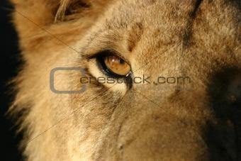 African Lion Eye