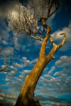 Old tree at sunset with clouds
