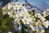 Sour cherry flowers
