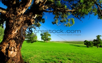 Old Tree in Meadow