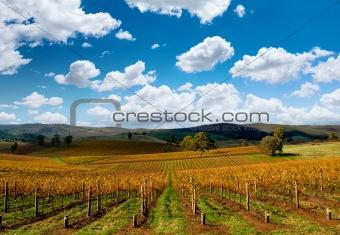 Beautiful Autumn Vineyard
