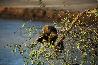 Single olive baboon in a tree