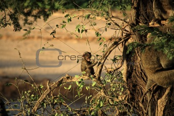 Baby baboon sat in a tree