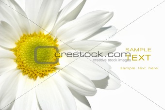 White shasta daisy on white