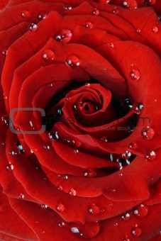 Rose macro with dew drops