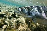 Salmon underwater