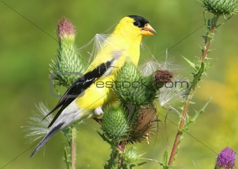 American Goldfinch (carduelis tristis) On Flower