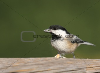Black-capped Chickadee With A Peanut