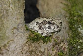 Gray Tree Frog (Hyla versicolor)