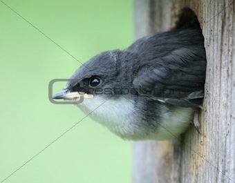 Baby Tree Swallow In A Birdhouse