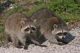Pair of Baby Raccoons (Procyon lotor)