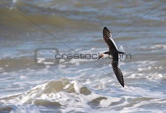 Black Skimmer (rhynchops niger) in flight
