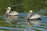 Pair of Brown Pelicans (pelecanus occidentalis)